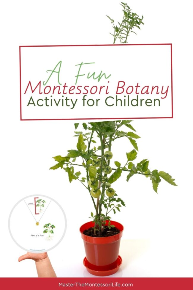 Are you ready to wow your child with a fun Montessori Botany activity that will teach them the Montessori parts of a plant.